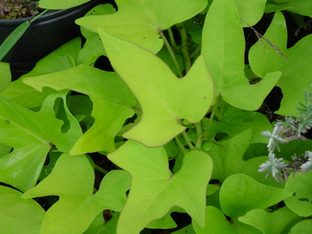 Garden, Chartreuse Bedding Plants